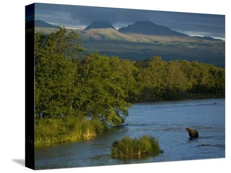 A Brown Bear Wading in a River in the Kronotsky Nature Reserve-Michael Melford-Stretched Canvas Print