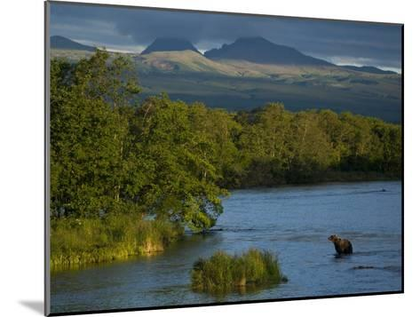 A Brown Bear Wading in a River in the Kronotsky Nature Reserve-Michael Melford-Mounted Photographic Print