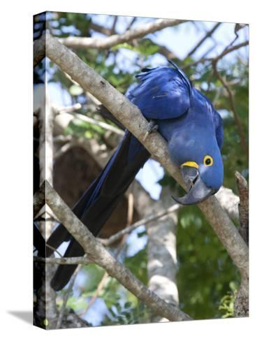 Hyacinth Macaw, Anodorhynchus Hyacinthinus, Perched on a Tree Branch-Roy Toft-Stretched Canvas Print