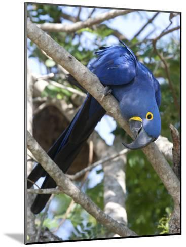 Hyacinth Macaw, Anodorhynchus Hyacinthinus, Perched on a Tree Branch-Roy Toft-Mounted Photographic Print