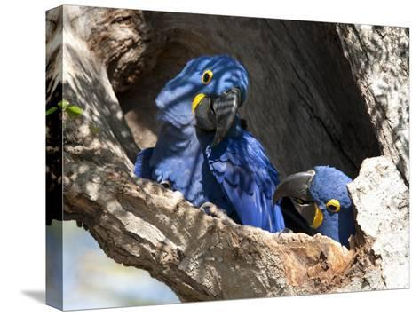 Pair of Hyacinthine Macaws, Anodorhynchus Hyacinthinus, in a Tree-Roy Toft-Stretched Canvas Print