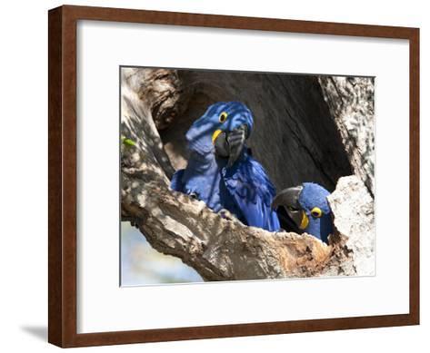 Pair of Hyacinthine Macaws, Anodorhynchus Hyacinthinus, in a Tree-Roy Toft-Framed Art Print