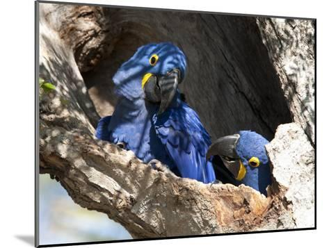 Pair of Hyacinthine Macaws, Anodorhynchus Hyacinthinus, in a Tree-Roy Toft-Mounted Photographic Print