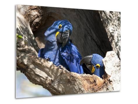 Pair of Hyacinthine Macaws, Anodorhynchus Hyacinthinus, in a Tree-Roy Toft-Metal Print