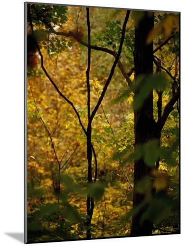 Grape Vines and Trees in Autumn Hues-Raymond Gehman-Mounted Photographic Print