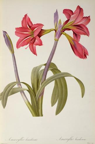 Amaryllis Brasiliensis, from `Les Liliacees' by Pierre Redoute, 8 Volumes, Published 1805-16,-Pierre-Joseph Redout?-Stretched Canvas Print