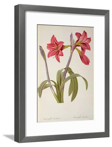 Amaryllis Brasiliensis, from `Les Liliacees' by Pierre Redoute, 8 Volumes, Published 1805-16,-Pierre-Joseph Redout?-Framed Art Print