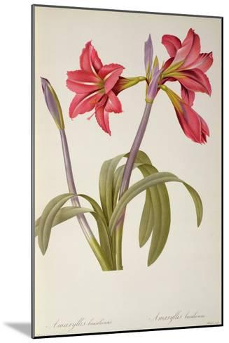 Amaryllis Brasiliensis, from `Les Liliacees' by Pierre Redoute, 8 Volumes, Published 1805-16,-Pierre-Joseph Redout?-Mounted Giclee Print