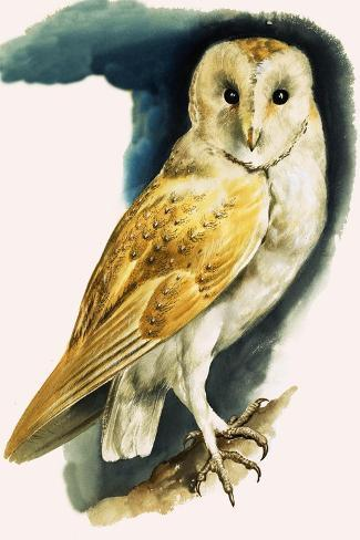 Barn Owl, Illustration from 'Peeps at Nature', 1963-English Photographer-Stretched Canvas Print