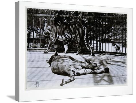 Tigers at London Zoo, 1870S-English Photographer-Stretched Canvas Print