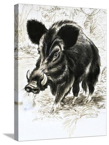 Wild Boar-English School-Stretched Canvas Print