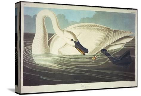 Trumpeter Swan-John James Audubon-Stretched Canvas Print