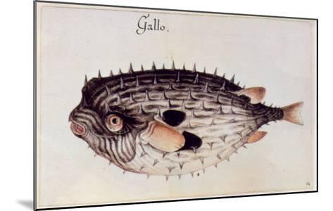 A Burrfish-John White-Mounted Giclee Print