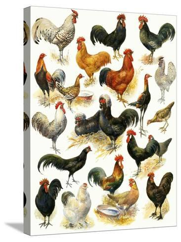 Poultry-English School-Stretched Canvas Print