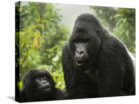 Silverback Agashya and Baby in Group 13 Gorilla Family-Douglas Steakley-Stretched Canvas Print