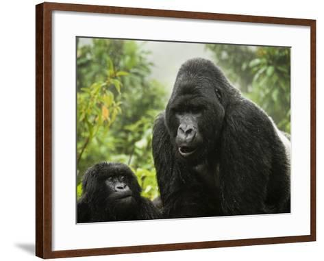 Silverback Agashya and Baby in Group 13 Gorilla Family-Douglas Steakley-Framed Art Print