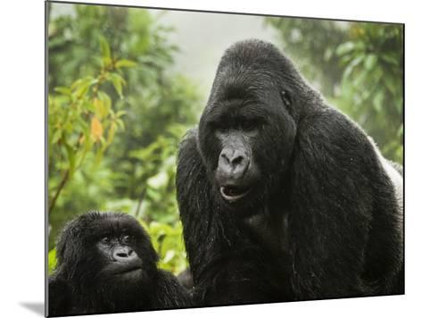 Silverback Agashya and Baby in Group 13 Gorilla Family-Douglas Steakley-Mounted Photographic Print