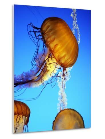 Jellyfish in Monterey Bay Aquarium-Douglas Steakley-Metal Print