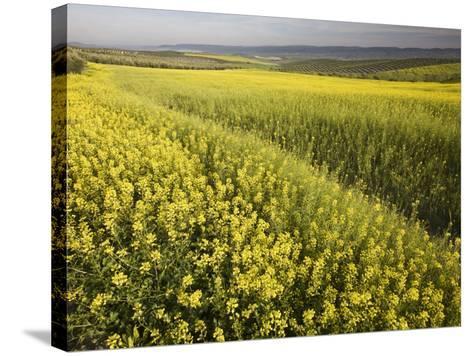 Rape Crop Flowers in Springtime in Northwestern Jaen Province-Diego Lezama-Stretched Canvas Print