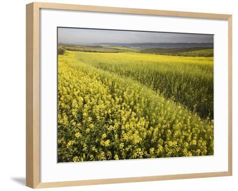 Rape Crop Flowers in Springtime in Northwestern Jaen Province-Diego Lezama-Framed Art Print