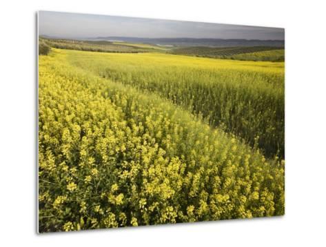 Rape Crop Flowers in Springtime in Northwestern Jaen Province-Diego Lezama-Metal Print