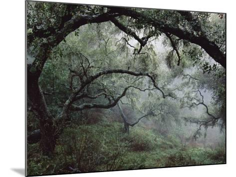 Oak Tree Forest after Storm-Douglas Steakley-Mounted Photographic Print