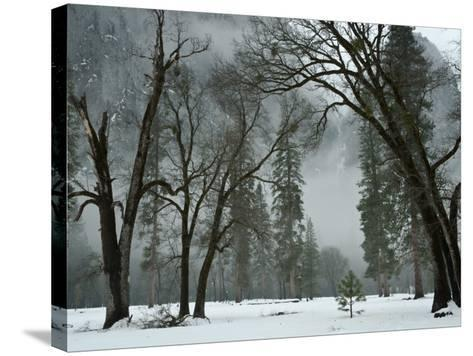 Arching Black Oaks-Douglas Steakley-Stretched Canvas Print