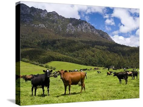 Cows in Lush Pastures and the Rocky Peak of Mt Roland-Glenn Van Der Knijff-Stretched Canvas Print
