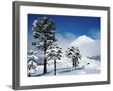 Araucaria (Monkey Puzzle) Trees in Snow Below Volcan Llaima, La Aracucania Region-Grant Dixon-Framed Art Print