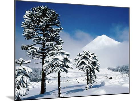 Araucaria (Monkey Puzzle) Trees in Snow Below Volcan Llaima, La Aracucania Region-Grant Dixon-Mounted Photographic Print