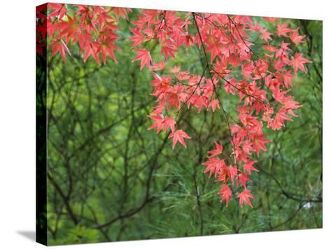 Contrasting Autumn Leaves, Arishiyama District-Gerard Walker-Stretched Canvas Print