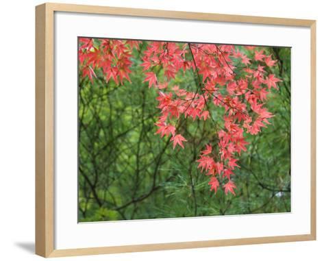 Contrasting Autumn Leaves, Arishiyama District-Gerard Walker-Framed Art Print