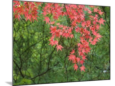 Contrasting Autumn Leaves, Arishiyama District-Gerard Walker-Mounted Photographic Print
