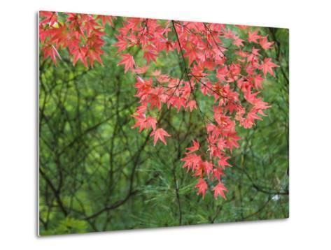 Contrasting Autumn Leaves, Arishiyama District-Gerard Walker-Metal Print
