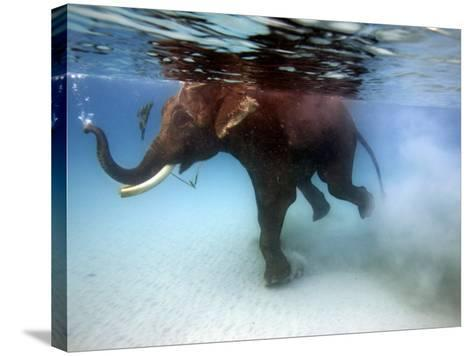Elephant 'Rajes' Taking Swim in Sea-Johnny Haglund-Stretched Canvas Print