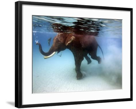 Elephant 'Rajes' Taking Swim in Sea-Johnny Haglund-Framed Art Print