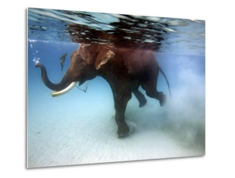 Elephant 'Rajes' Taking Swim in Sea-Johnny Haglund-Metal Print