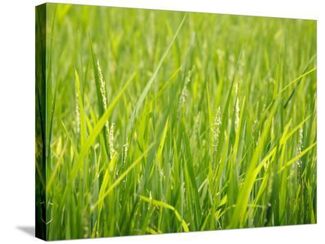 Rice Field, Near Can Tho, Mekong Delta-Kimberley Coole-Stretched Canvas Print