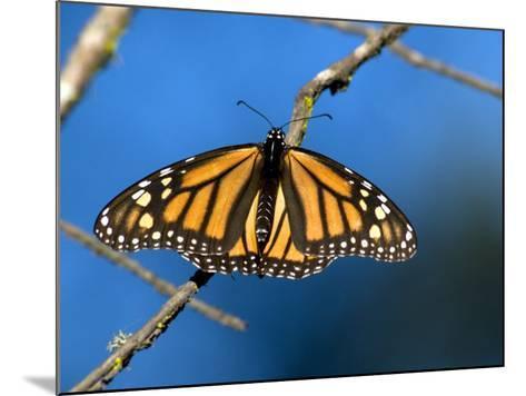 Monarch Butterfly (Danaus Plexippus)-Mark Newman-Mounted Photographic Print