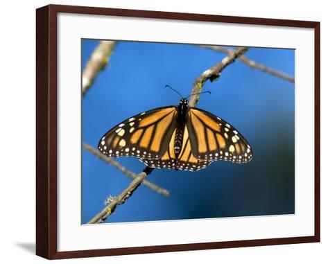 Monarch Butterfly (Danaus Plexippus)-Mark Newman-Framed Art Print