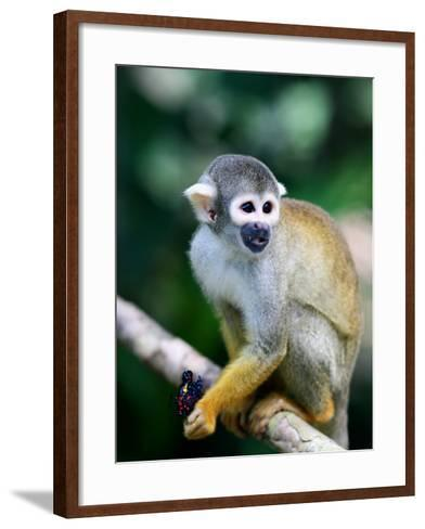 Squirrel Monkey (Saimiri Sciureus) About to Eat a Colourful Butterfly at an Animal Rescue Centre-Paul Kennedy-Framed Art Print