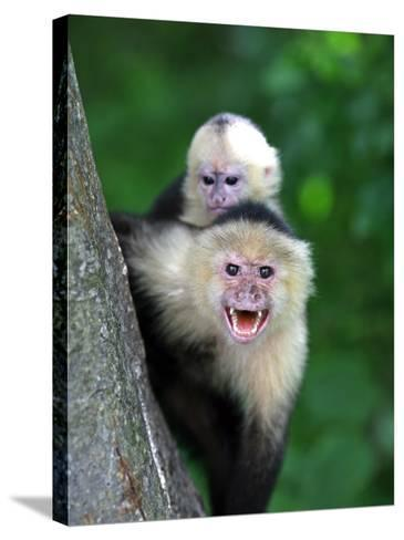 White-Faced Capuchin (Cebus Capucinus) Protects its Baby at Monkey Island Near Merida-Paul Kennedy-Stretched Canvas Print