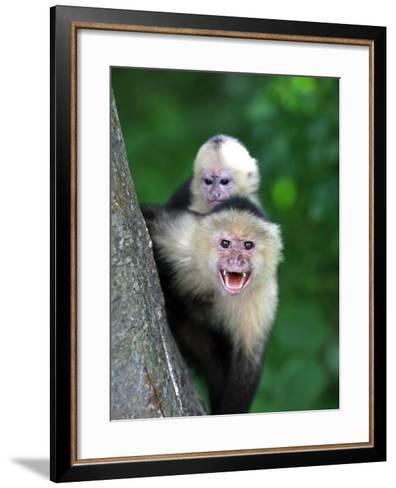 White-Faced Capuchin (Cebus Capucinus) Protects its Baby at Monkey Island Near Merida-Paul Kennedy-Framed Art Print