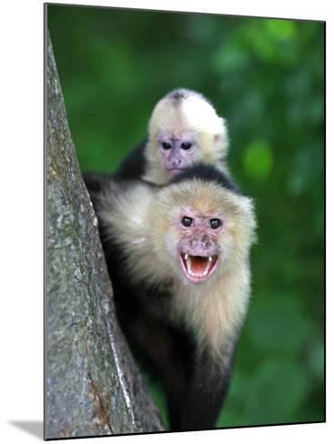 White-Faced Capuchin (Cebus Capucinus) Protects its Baby at Monkey Island Near Merida-Paul Kennedy-Mounted Photographic Print
