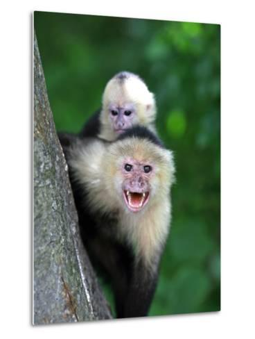 White-Faced Capuchin (Cebus Capucinus) Protects its Baby at Monkey Island Near Merida-Paul Kennedy-Metal Print