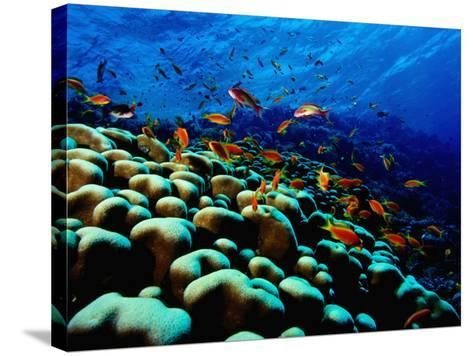 School of Anthias over Brain Coral - Red Sea, Ras Mohammed National Par-Mark Webster-Stretched Canvas Print