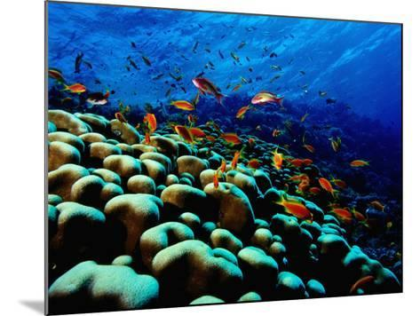School of Anthias over Brain Coral - Red Sea, Ras Mohammed National Par-Mark Webster-Mounted Photographic Print