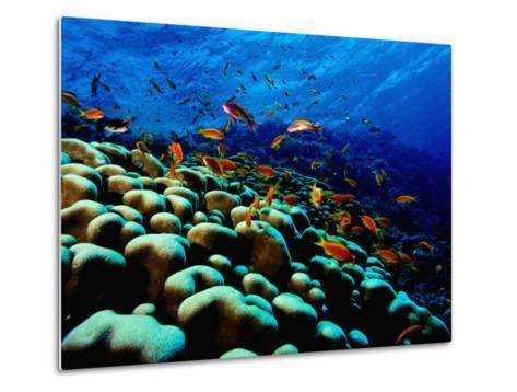 School of Anthias over Brain Coral - Red Sea, Ras Mohammed National Par-Mark Webster-Metal Print