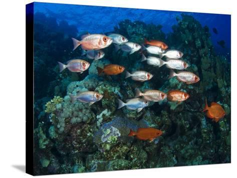 Big Eye Squirrel Fish Shoal, St. John's Reef-Mark Webster-Stretched Canvas Print