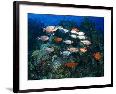 Big Eye Squirrel Fish Shoal, St. John's Reef-Mark Webster-Framed Art Print